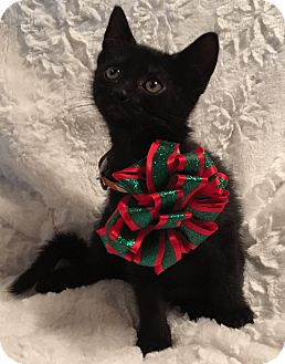 Domestic Shorthair Kitten for adoption in El Dorado Hills, California - Bambi
