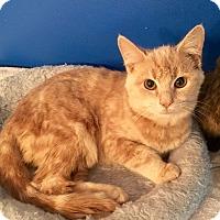 Adopt A Pet :: Bradley - Summerville, SC