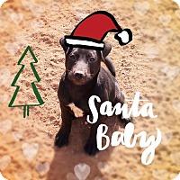 Labrador Retriever/Labrador Retriever Mix Dog for adoption in Chandler, Arizona - PANCAKE - Likes to Chill!