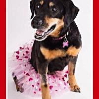 Adopt A Pet :: Kyara - Mt. Clemens, MI