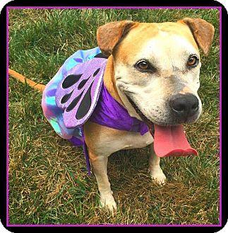 American Bulldog/Staffordshire Bull Terrier Mix Dog for adoption in Salisbury, North Carolina - Elsa