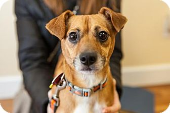 Jack Russell Terrier/Chihuahua Mix Dog for adoption in Washington, D.C. - Chip (Has Application)
