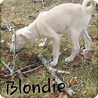 Adopt A Pet :: Blondie (DC) - Allentown, PA