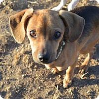 Adopt A Pet :: Wesley 10 Months - C/S & Denver Metro, CO
