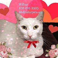Adopt A Pet :: A Sweet Male: WILBUR - Monrovia, CA