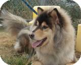 Samoyed Mixed With German Shepherd Suka | Adopted ...