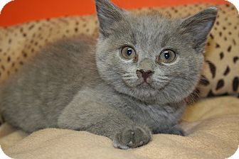 Russian Blue Kitten for adoption in SILVER SPRING, Maryland - RONNIE