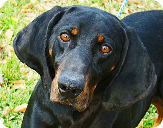 Coonhound Dog for adoption in Groton, Massachusetts - Beauford T.