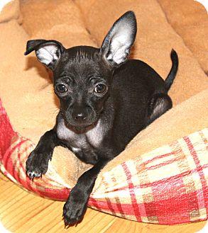bernie adopted puppy yorba linda ca chihuahua