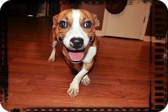 Jack Russell Terrier/Basset Hound Mix Dog for adoption in Marietta, Georgia - Nate
