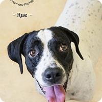 Adopt A Pet :: Rae - Phoenix, AZ