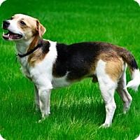 Adopt A Pet :: Jack Russell - Phoenix, AZ