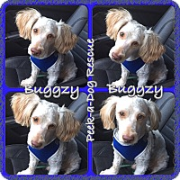 Adopt A Pet :: Buggzy - South Gate, CA