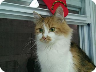 Domestic Longhair Cat for adoption in Owenboro, Kentucky - ARIANA!