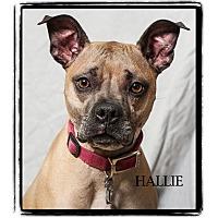 Boxer/Labrador Retriever Mix Dog for adoption in Warren, Pennsylvania - Hallie
