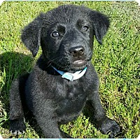 Adopt A Pet :: Blue - Rochester, NY