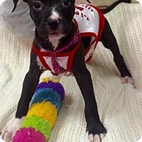 Adopt A Pet :: CHARLIE - Fort Pierce, FL