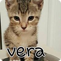 Domestic Mediumhair Kitten for adoption in Jacksonville, Florida - Vera