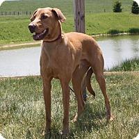 Adopt A Pet :: Pippin - Staunton, VA
