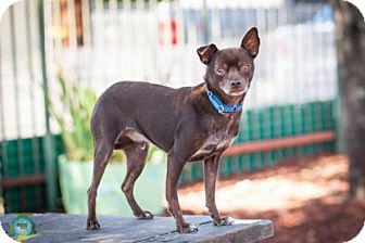Chihuahua Mix Dog for adoption in Windsor, California - Gilligan