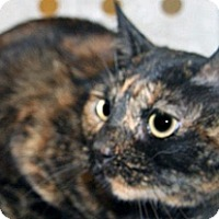 Domestic Shorthair Cat for adoption in Wildomar, California - Cleo