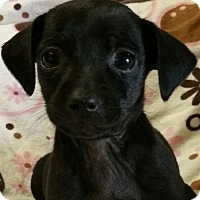 Miniature Pinscher/Chihuahua Mix Puppy for adoption in Los Angeles, California - Buffy