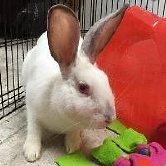 Californian Mix for adoption in Woburn, Massachusetts - Chelsea