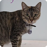 Domestic Shorthair Cat for adoption in Bradenton, Florida - Peepers