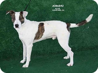 Hound (Unknown Type) Mix Dog for adoption in Hanford, California - *ANDREW