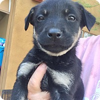 Adopt A Pet :: Olive - Cave Creek, AZ