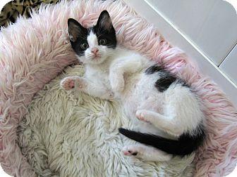 Domestic Shorthair Kitten for adoption in Redwood Falls, Minnesota - Reggie