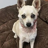 Chihuahua Mix Dog for adoption in Scottsdale, Arizona - Rosita
