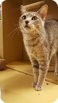 Domestic Shorthair Kitten for adoption in Manchester, Connecticut - Missy (in CT)
