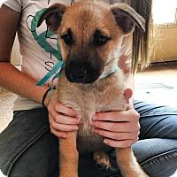 Adopt A Pet :: Pako - DeForest, WI