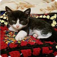 Domestic Shorthair Cat for adoption in Mississauga, Ontario, Ontario - Kythira