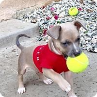 Adopt A Pet :: Rebel - Mission Viejo, CA