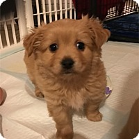 Adopt A Pet :: Valentino - Las Vegas, NV