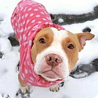 Adopt A Pet :: Babe Mini Pitti - Woodland Park, NJ