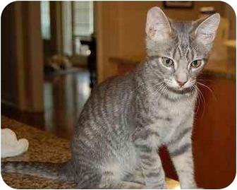Domestic Shorthair Cat for adoption in Woodstock, Georgia - Jeffrey