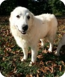 Great Pyrenees Dog for adoption in Windham, New Hampshire - Hazel ($300 adoption fee)