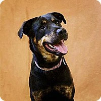 Rottweiler Mix Dog for adoption in Pekin, Illinois - Trista