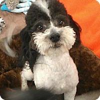 Adopt A Pet :: Erik - non shed partipoodle - Phoenix, AZ