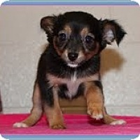 Adopt A Pet :: Opal - Staunton, VA