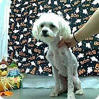 Adopt A Pet :: Daisy - Encinitas, CA