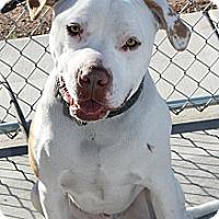 Adopt A Pet :: Opie - Hurricane, UT