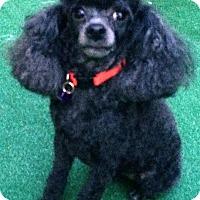 Adopt A Pet :: Doodle - Dover, MA