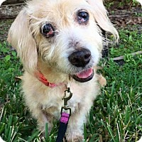 Dachshund Dog for adoption in Weston, Florida - Jennifer