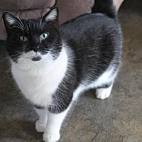Domestic Shorthair Cat for adoption in Morehead, Kentucky - Mama Tux ADULT FEMALE
