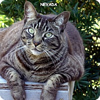 Domestic Shorthair Cat for adoption in Bonita Springs, Florida - Nevada