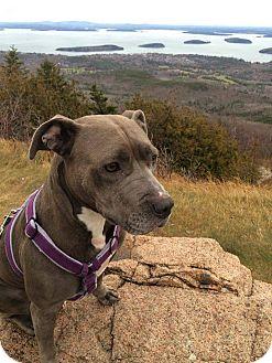 Pit Bull Terrier Mix Dog for adoption in New York, New York - Robin